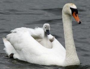 Swan-PietervdBerg